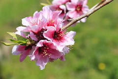 Plum blossom in springtime Royalty Free Stock Photo