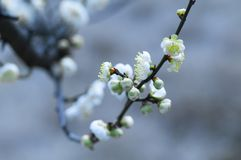 White plum blossom. Plum blossom in the sun, beautiful and moving,The first flower to bloom in spring Stock Photo