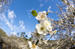 Plum blossom in Taiwan. Nantou County Plum Farm Royalty Free Stock Photo