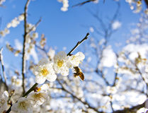 Plum blossom in Taiwan Royalty Free Stock Image