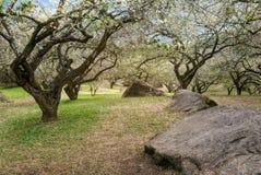 Plum blossom tree Stock Photo