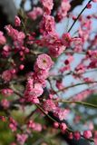 Plum blossom tree. Branches of pink plum blossom flowers during spring Royalty Free Stock Photo