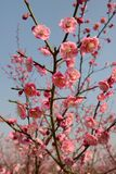 Plum blossom tree Stock Image
