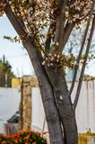 Plum blossom trunk at sunset stock images