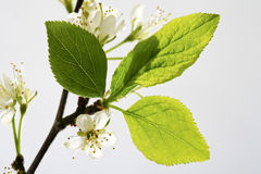 Plum blossom, twig and leaves Stock Image