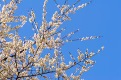 Plum blossom under the clear sky Stock Photo