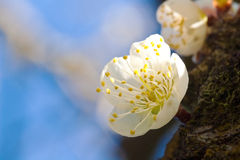 Plum blossom Royalty Free Stock Images