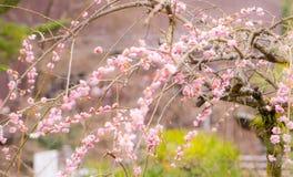 Plum Blossom Vintage-toon Stock Foto