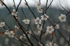 Plum blossom. The plum blossom is a winter flower with the characteristics of cold resistance. Plum blossom is native to China, and then introduced to Korea and Royalty Free Stock Photo