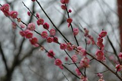 Plum blossom. The plum blossom is a winter flower with the characteristics of cold resistance. Plum blossom is native to China, and then introduced to Korea and Royalty Free Stock Photography