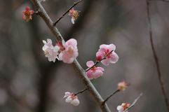 Plum blossom. The plum blossom is a winter flower with the characteristics of cold resistance. Plum blossom is native to China, and then introduced to Korea and Royalty Free Stock Images