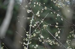 Plum blossom. The plum blossom is a winter flower with the characteristics of cold resistance. Plum blossom is native to China, and then introduced to Korea and Royalty Free Stock Photos