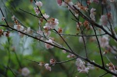 Plum blossom. The plum blossom is a winter flower with the characteristics of cold resistance. Plum blossom is native to China, and then introduced to Korea and Stock Photos