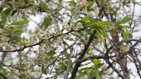 Plum blossomed in spring stock video