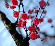 Plum is blossoming -1. An old plum is blossoming in Nanjing Royalty Free Stock Images