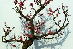 Plum is blossoming -3 stock image