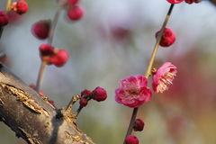 Plum blossoming out within a cold morning day Royalty Free Stock Photos
