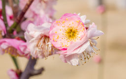 Plum blossoming in spring Stock Image