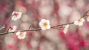 Plum blossoming in spring Stock Photography