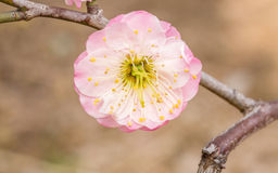 Plum blossoming in spring Royalty Free Stock Photos