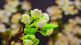 Plum blossoming stock footage