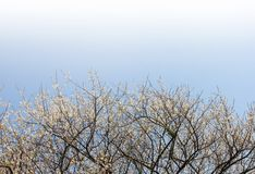 Plum blossoms. Against blue sky Stock Photography