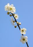 Plum blossoms Stock Photo