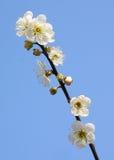 Plum blossoms. Against blue sky Stock Photo