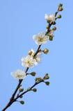 Plum blossoms. Against blue sky Royalty Free Stock Photos