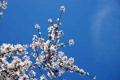 Plum blossoms. Plum white blossom flowers against a blue sky Stock Photo