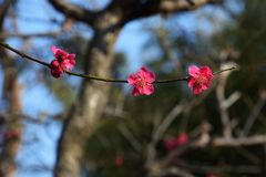 Plum blossoms. Beautiful plum blossoms in full bloom Royalty Free Stock Photos