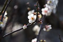 Plum blossoms. Beautiful plum blossoms in full bloom Royalty Free Stock Photography