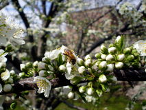 Plum blossoms, with a bee. Plum blossoms in spring. A bee is pollinating Stock Images