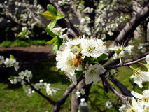 Plum blossoms, with a bee. Plum blossoms in spring. A bee is pollinating Royalty Free Stock Images
