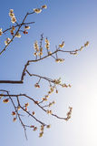 Plum blossoms Stock Photography