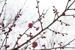 Plum Blossoms Blooming in de Lente stock afbeelding
