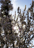 Plum Blossoms. Blooming in late February captured against the pale blue sky Royalty Free Stock Photo