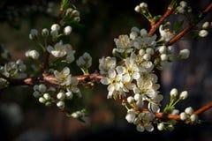 Plum Blossoms Blooming op Plum Tree Branch stock afbeeldingen