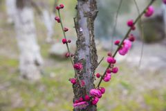 Plum Blossoms Blooming in Spring stock photos