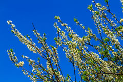 Plum blossoms with blue sky background Stock Photography