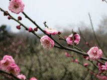 Plum Blossoms on a Branch. A string of plum blossoms pearched on a branch royalty free stock photography