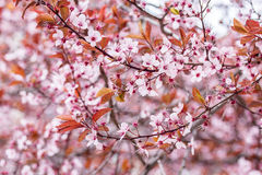 Plum blossoms Royalty Free Stock Images