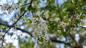 Plum Blossoms in de Lente 07 stock footage