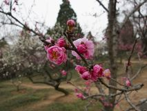 Plum Blossoms Flowering in Front of Pine Trees. Some plum blossoms are in bloom in the park, and trees are in the background stock photography