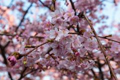 Plum blossoms in full bloom royalty free stock photos