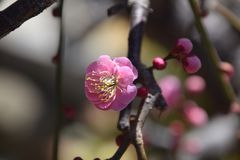 Plum blossoms. In full bloom Royalty Free Stock Photos