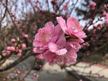 Plum blossoms in full bloom stock photography