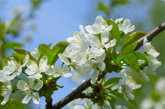 Plum blossoms in the garden Stock Image