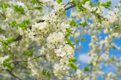 Plum blossoms in the garden Royalty Free Stock Image