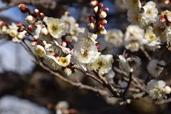 Plum blossoms. Ih full bloom Stock Images